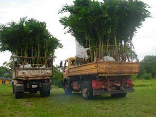 Venta de 500 palmeras